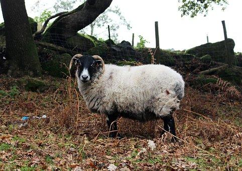Sheep, Horns, Animal, Nature, Wildlife, Moors