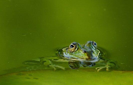 Frog, Frog Pond, Water, Lake, Pond, Green, Amphibian