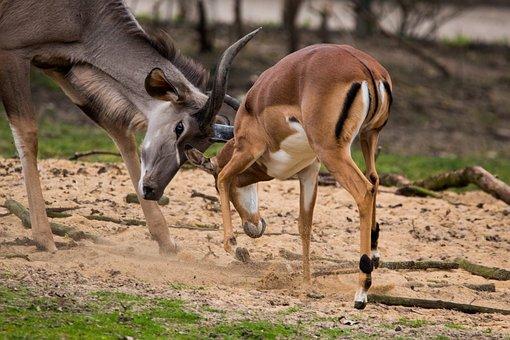 Large Kudu, Antelope, Africa, Kudu, Antler, African
