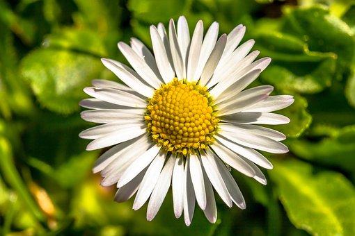 Geese Flower, Daisy, Bellis Philosophy