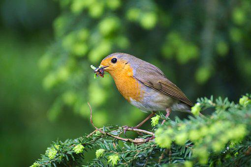 Robin, Bird, Garden, Erithacus Rubecula, Close