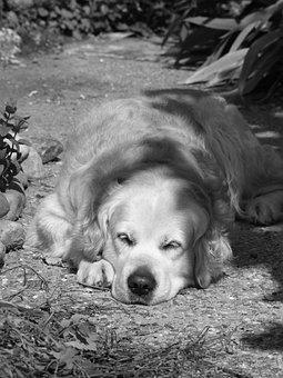 Dog, Golden, Golden Retriever, Animal, Calm, Sleep