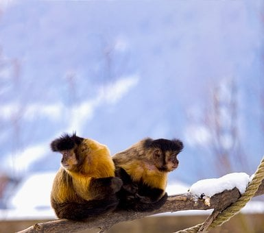 Capuchin, Capuchins, Primate, New World Monkey, Sit