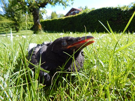 Crow, Crow Baby, Chicks, Meadow, Nature, Spring, Small