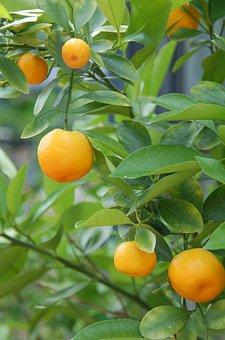 Tangerines, Oranges, Citrus Fruits, Bush, Citrus Tree