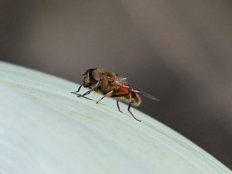 Hoverfly, False Bee, Detail, Insect, Sirphidae