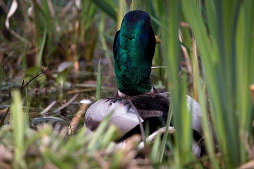 Duck, Water Bird, Swim, Waterfowl, Bird, Duck Bird