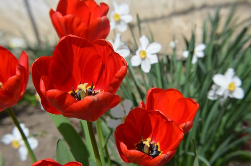 Red, Tulip, Spring, Flower, Plants, Nature, Floral