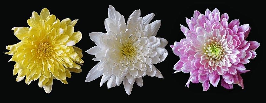 Chrysanthemum, Mixed, Flower, Pink, Yellow, White