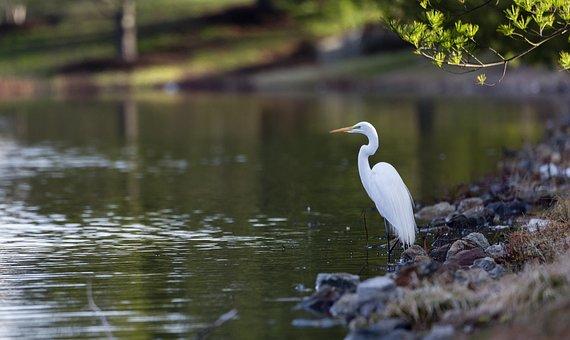 Egret, Bird, Great Egret, Wildlife, Beak, Lake, Feather