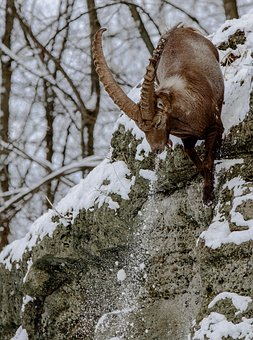 Capricorn, Alpine Ibex, Goat-like, Rock, Jump, Snow