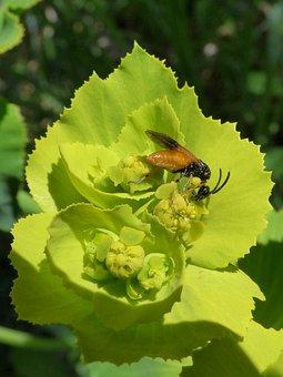 Insect, False Bee, Libar, Flower, Detail