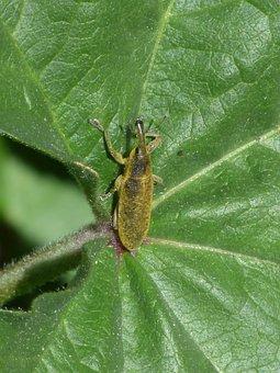 Lixus Angustatus, Lixus, Beetle Mallows