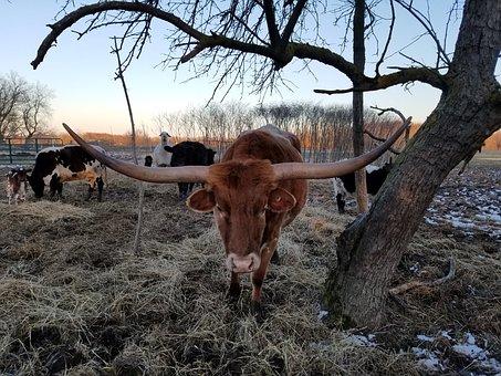 Texas Longhorn, Cattle, Cow, Texas, Longhorn, Horn