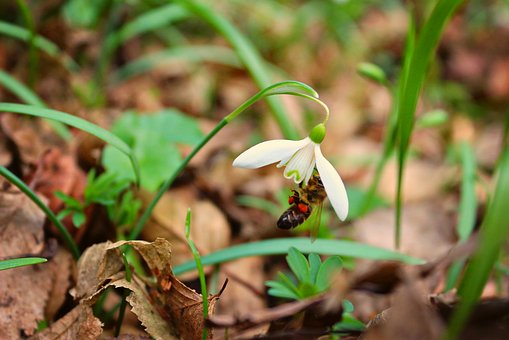 Snowdrop, Bee, Plant, Spring, Nectar, Nature