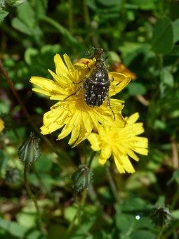 Hairy Beetle, Libar, Dandelion, Oxythyrea Funesta