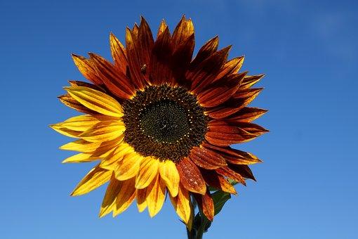 Sun Flower, Flower, Field, Plant, Sunflower Field