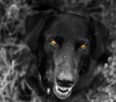 Labrador, Reduced, Eyes, Mix, Hybrid, Protector, Animal