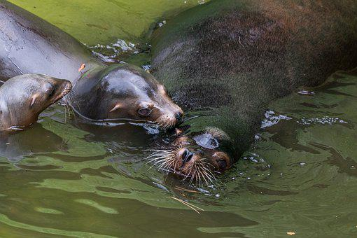 California Sea Lion, Sea Lion, Water Creature