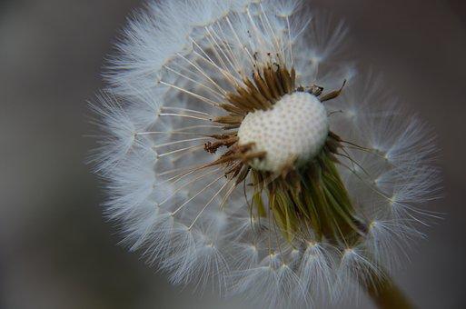 Dandelion, Wish, Nature, Spring, Flower, Summer, Seed