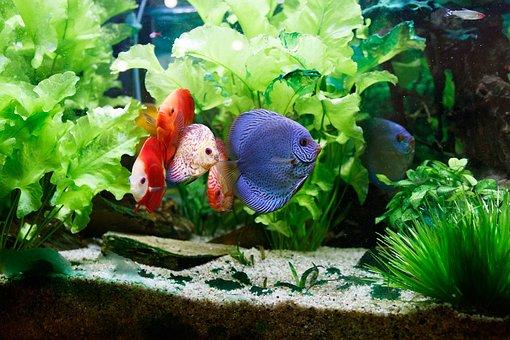 Fish, Tank, Aquarium, Water, Colorful, Swimming
