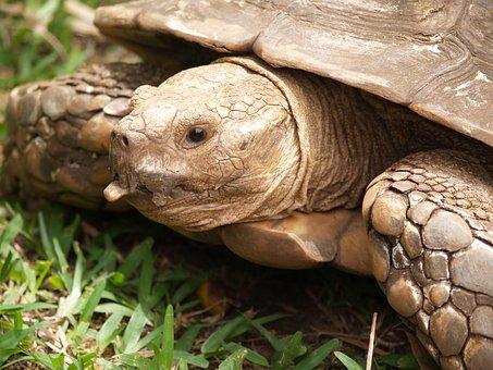 Turtle, Carapace, Tortie, Animals, Head