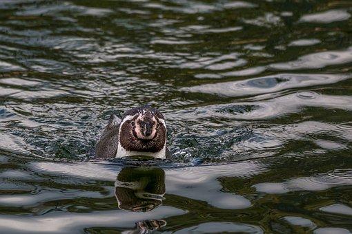 Humboldt Penguin, Swim, Penguin, Water Bird, Humboldt