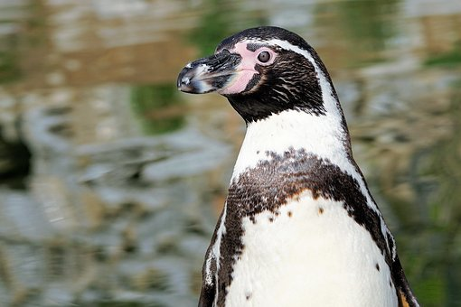 Penguin, Bird, Animal, Animal World, Water Bird, Water