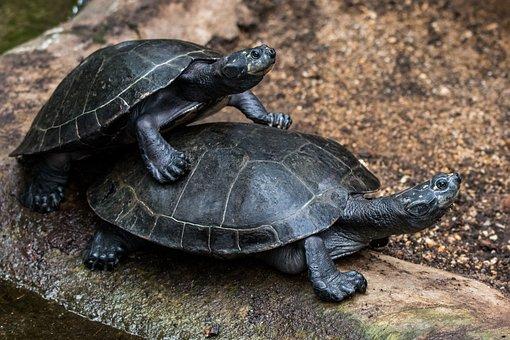 Turtle, Turtles, Water Turtle, Panzer, Tortoise Shell
