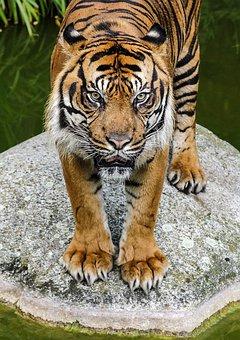 Tiger, View, Cat, Watch, Predator, Close, Zoo, Animals