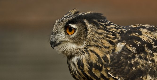 Eagle Owl, Bird, Owl, Feather, Bird Of Prey