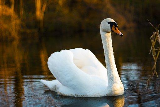 Swan, Bird, Nature, Wildlife, Wild, White, Lake
