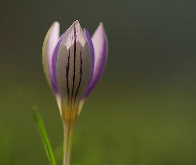 Crocus, Purple, Spring, Flower, Blossom, Bloom, Nature