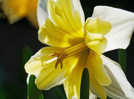 Narcissus, Daffodil, Yellow, Spring, Blossom, Bloom