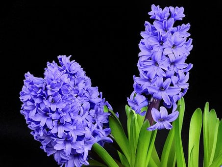 Hyacinth, Flower, Flourished, Bloom, Spring, Nature