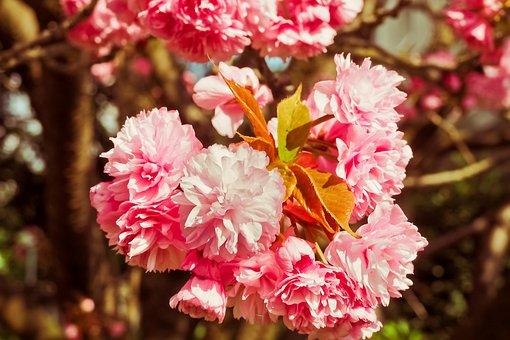 Cherry Blossom, Tree, Spring, Flowers, Flowering Trees