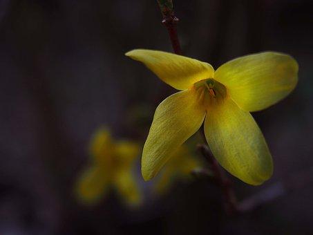 Spring, Garden, Flowers, Nature, Forsythia, Plants