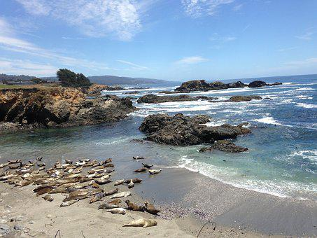 Harbor Seals, Pacific Ocean, Sea Ranch, Coast, Beach