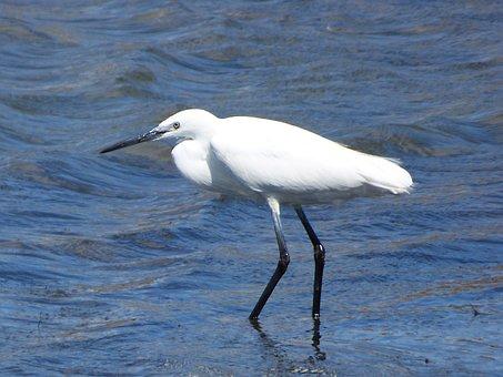 Little Egret, Water Bird, Martinet Blanc, Ebro Delta