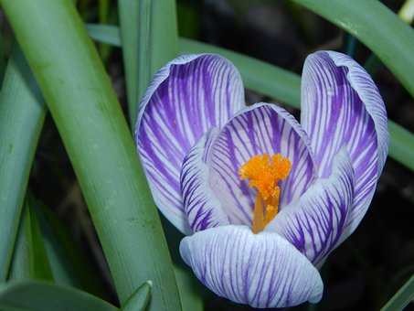 Crocus, Spring, Early Bloomer, Purple, Spring Crocus