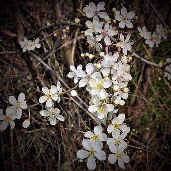 Plant, Rock Cherry, Stone Vistula, Many Flowers, Small