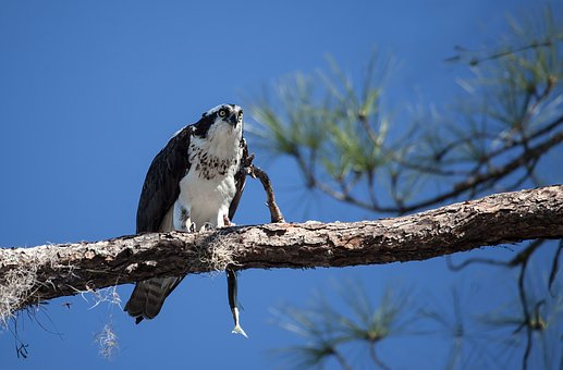 Osprey, Adler, Bird, Animal, Nature, Florida, Usa
