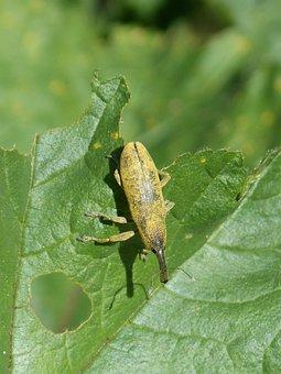 Weevil, Weevil Beetle, Lixus Angustatus, Leaf, Mallow