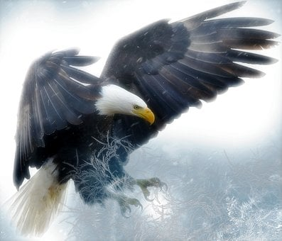 Bald Eagle, Bird, Predator, Raptor, Wildlife, Nature