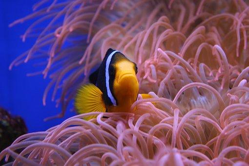 Clown Fish, Nemo, Animal, Nature, Wild, Wildlife