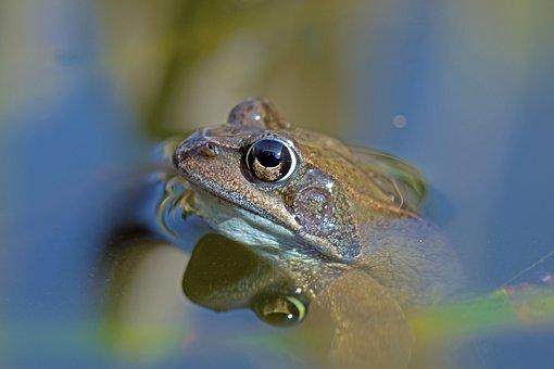 Common Frog, Amphibians, Rana Temporaria, Spring