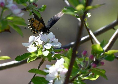 Butterfly, Apple, Blossom, Nature, Flower, Spring