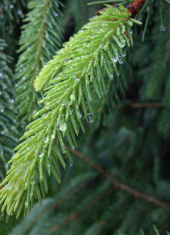 Pine, Fir, Evergreen, Conifer, Rain, Dew, Water, Close