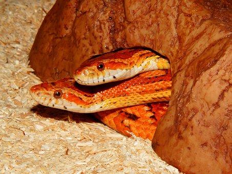 Snake, Non Toxic, Corn Snake, Reptile, Constrictor