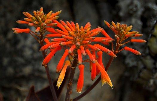 Flower, Cigarettes Flower, Exotic, Bloom, Plant, Nature